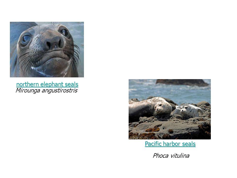 northern elephant seals northern elephant seals Mirounga angustirostris Phoca vitulina Pacific harbor sealsPacific harbor seals Pacific harbor seals Pacific harbor seals