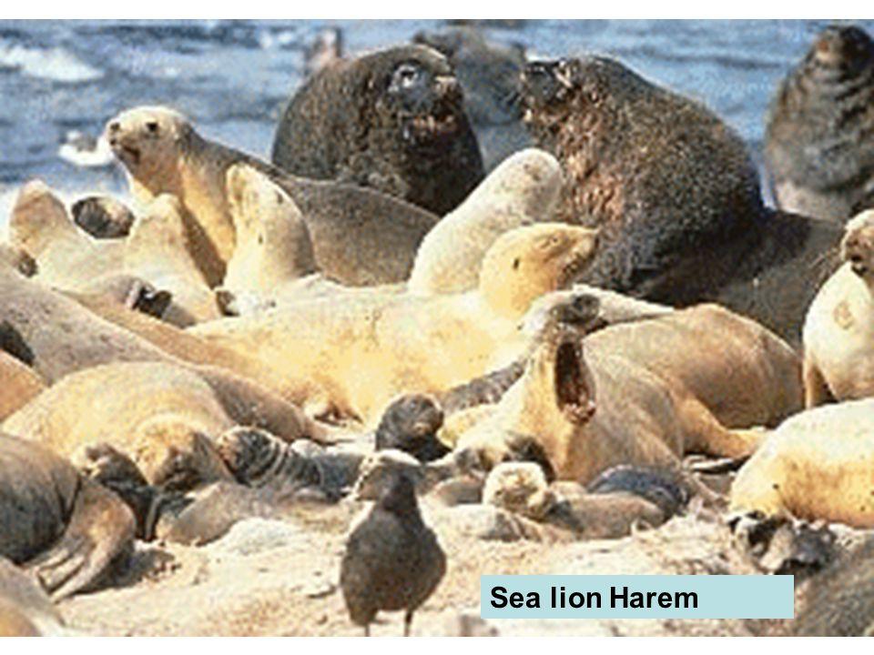 Sea lion Harem