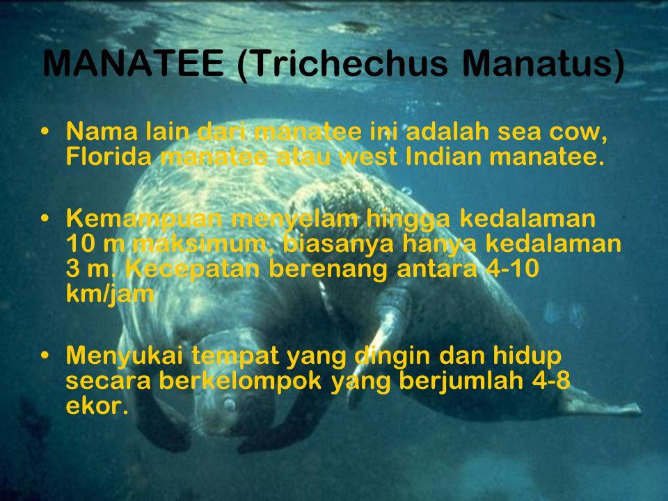 MANATEE (Trichechus Manatus) Nama lain dari manatee ini adalah sea cow, Florida manatee atau west Indian manatee.
