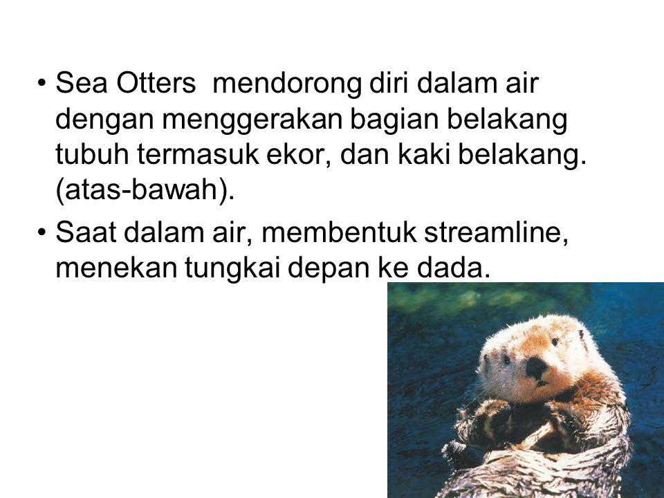 Sea Otters mendorong diri dalam air dengan menggerakan bagian belakang tubuh termasuk ekor, dan kaki belakang.