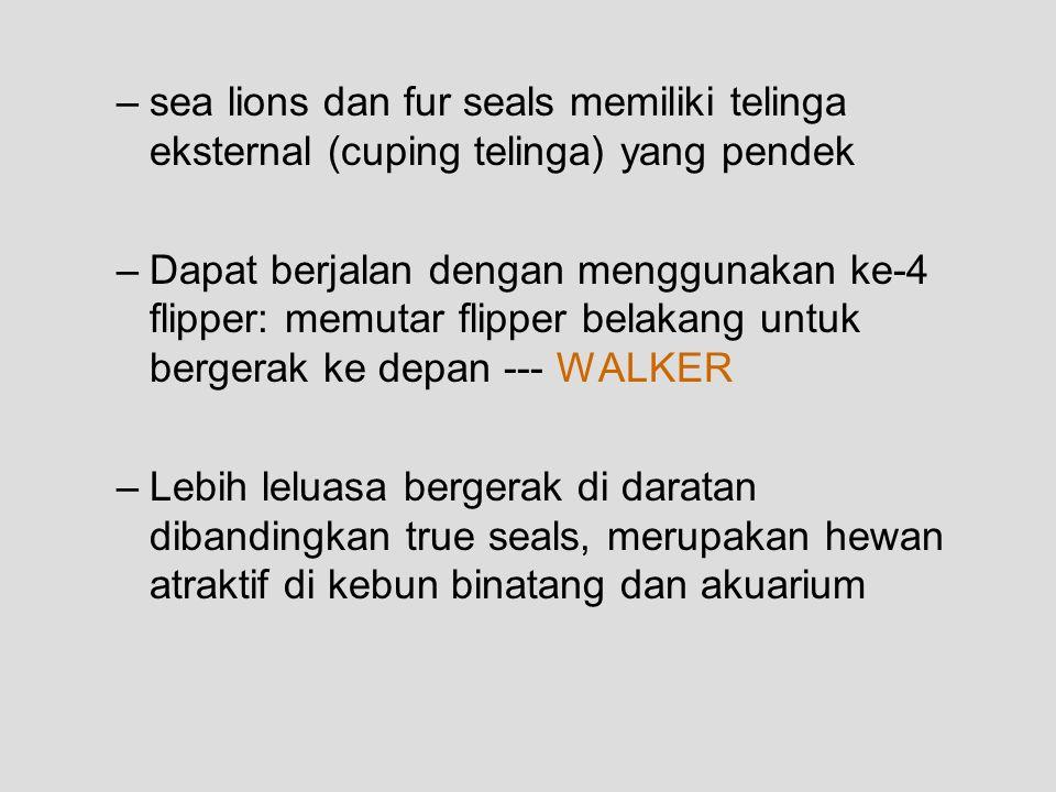 –sea lions dan fur seals memiliki telinga eksternal (cuping telinga) yang pendek –Dapat berjalan dengan menggunakan ke-4 flipper: memutar flipper belakang untuk bergerak ke depan --- WALKER –Lebih leluasa bergerak di daratan dibandingkan true seals, merupakan hewan atraktif di kebun binatang dan akuarium