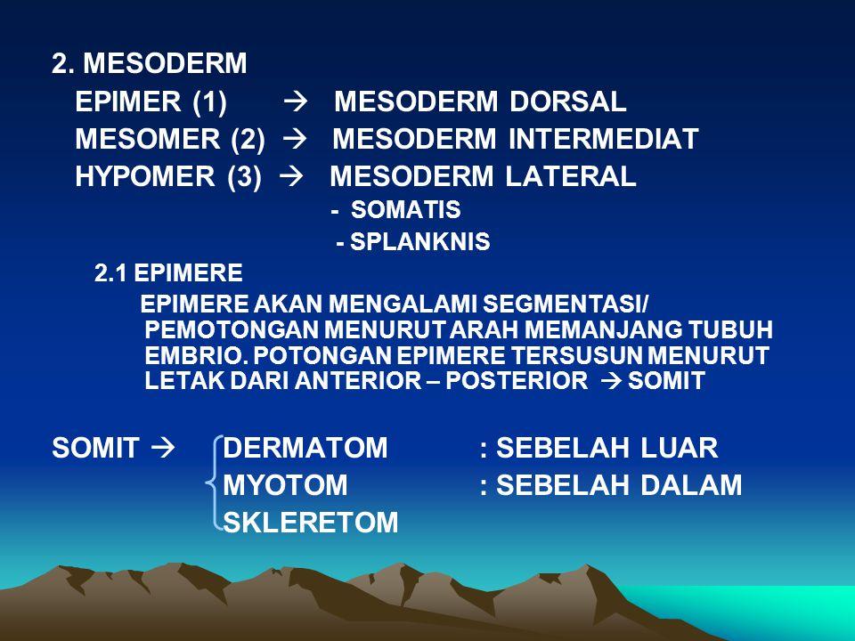 2. MESODERM EPIMER (1)  MESODERM DORSAL MESOMER (2)  MESODERM INTERMEDIAT HYPOMER (3)  MESODERM LATERAL - SOMATIS - SPLANKNIS 2.1 EPIMERE EPIMERE A