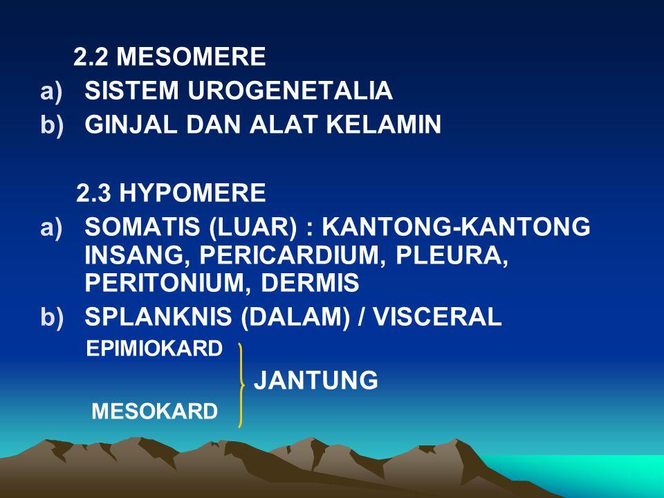 2.2 MESOMERE a)SISTEM UROGENETALIA b)GINJAL DAN ALAT KELAMIN 2.3 HYPOMERE a)SOMATIS (LUAR): KANTONG-KANTONG INSANG, PERICARDIUM, PLEURA, PERITONIUM, DERMIS b)SPLANKNIS (DALAM) / VISCERAL EPIMIOKARD JANTUNG MESOKARD