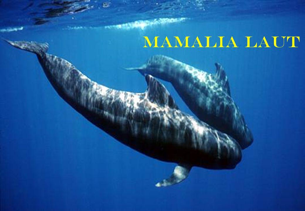 Mamalia laut