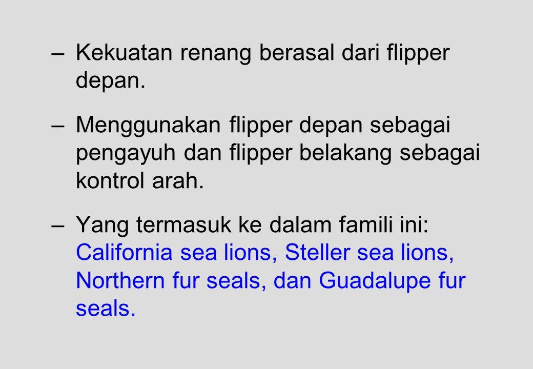 –Kekuatan renang berasal dari flipper depan. –Menggunakan flipper depan sebagai pengayuh dan flipper belakang sebagai kontrol arah. –Yang termasuk ke