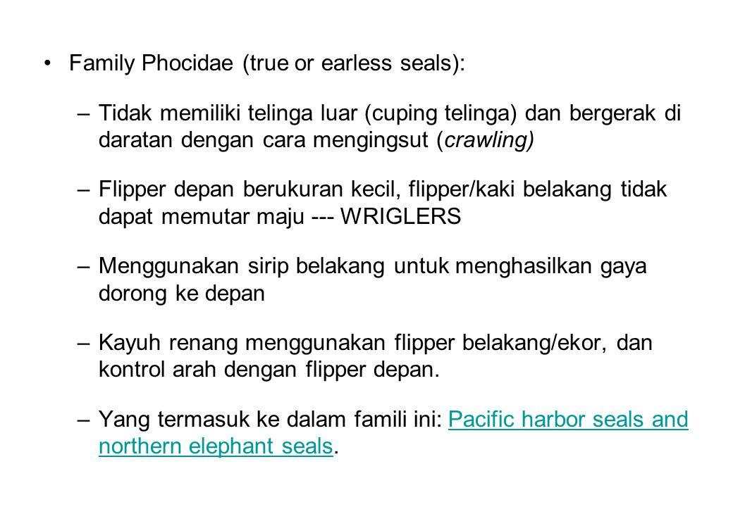 Family Phocidae (true or earless seals): –Tidak memiliki telinga luar (cuping telinga) dan bergerak di daratan dengan cara mengingsut (crawling) –Flip