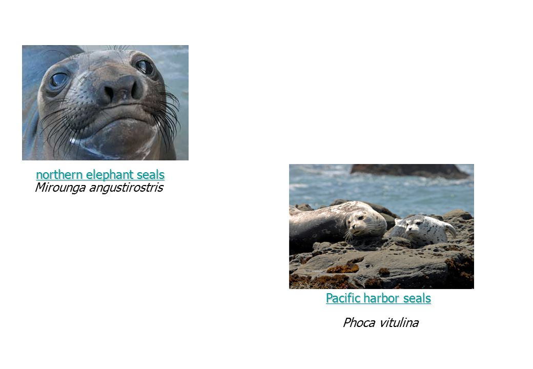 northern elephant seals northern elephant seals Mirounga angustirostris Phoca vitulina Pacific harbor sealsPacific harbor seals Pacific harbor seals P
