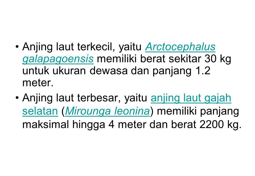 Anjing laut terkecil, yaitu Arctocephalus galapagoensis memiliki berat sekitar 30 kg untuk ukuran dewasa dan panjang 1.2 meter.Arctocephalus galapagoe