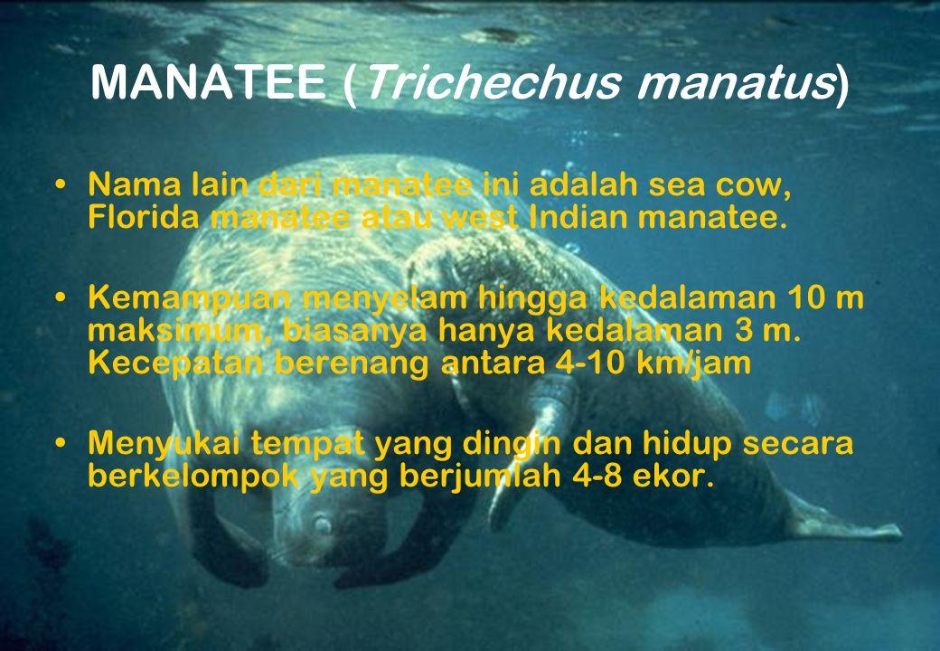 MANATEE (Trichechus manatus) Nama lain dari manatee ini adalah sea cow, Florida manatee atau west Indian manatee. Kemampuan menyelam hingga kedalaman