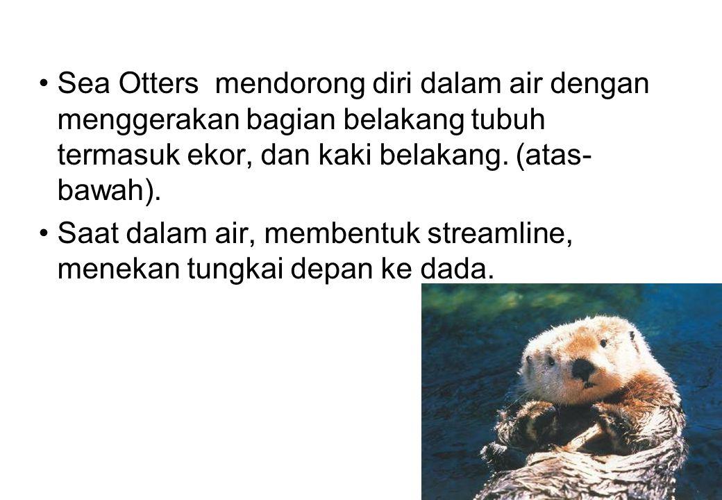 Sea Otters mendorong diri dalam air dengan menggerakan bagian belakang tubuh termasuk ekor, dan kaki belakang. (atas- bawah). Saat dalam air, membentu