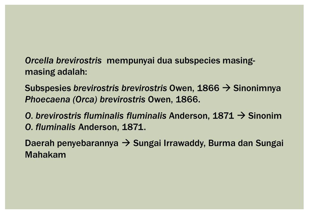 Orcella brevirostris mempunyai dua subspecies masing- masing adalah: Subspesies brevirostris brevirostris Owen, 1866  Sinonimnya Phoecaena (Orca) bre