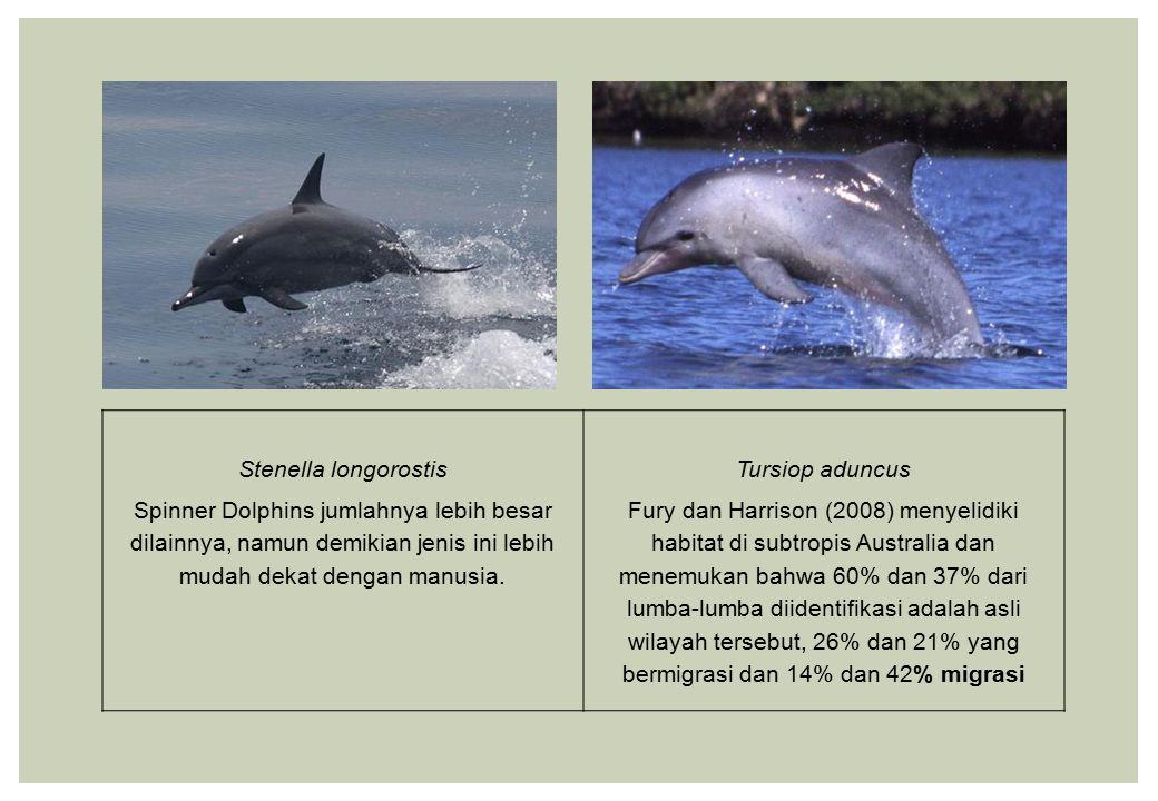 Stenella longorostis Spinner Dolphins jumlahnya lebih besar dilainnya, namun demikian jenis ini lebih mudah dekat dengan manusia. Tursiop aduncus Fury