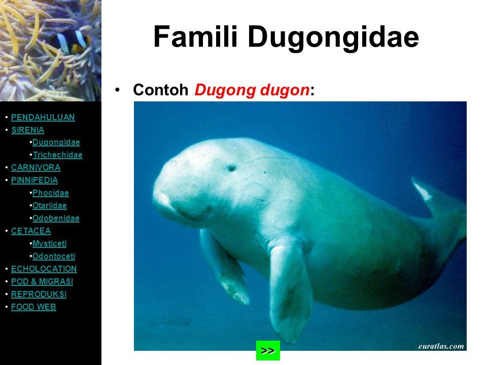 Famili Dugongidae Contoh Dugong dugon: PENDAHULUAN SIRENIA Dugongidae Trichechidae CARNIVORA PINNIPEDIA Phocidae Otariidae Odobenidae CETACEA Mysticet