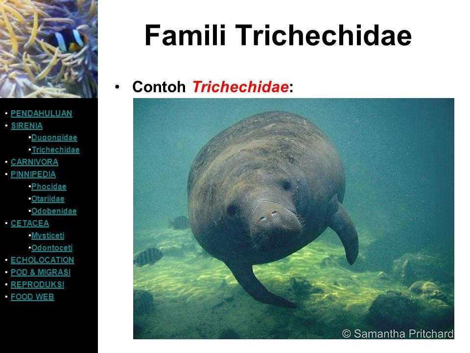 Famili Trichechidae Contoh Trichechidae: PENDAHULUAN SIRENIA Dugongidae Trichechidae CARNIVORA PINNIPEDIA Phocidae Otariidae Odobenidae CETACEA Mystic