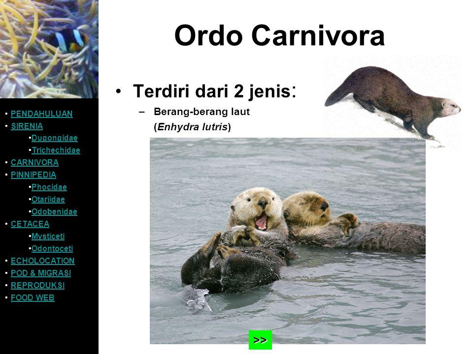 Ordo Carnivora Terdiri dari 2 jenis : –Berang-berang laut (Enhydra lutris) PENDAHULUAN SIRENIA Dugongidae Trichechidae CARNIVORA PINNIPEDIA Phocidae O