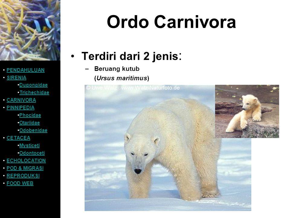 Ordo Carnivora Terdiri dari 2 jenis : –Beruang kutub (Ursus maritimus) PENDAHULUAN SIRENIA Dugongidae Trichechidae CARNIVORA PINNIPEDIA Phocidae Otari