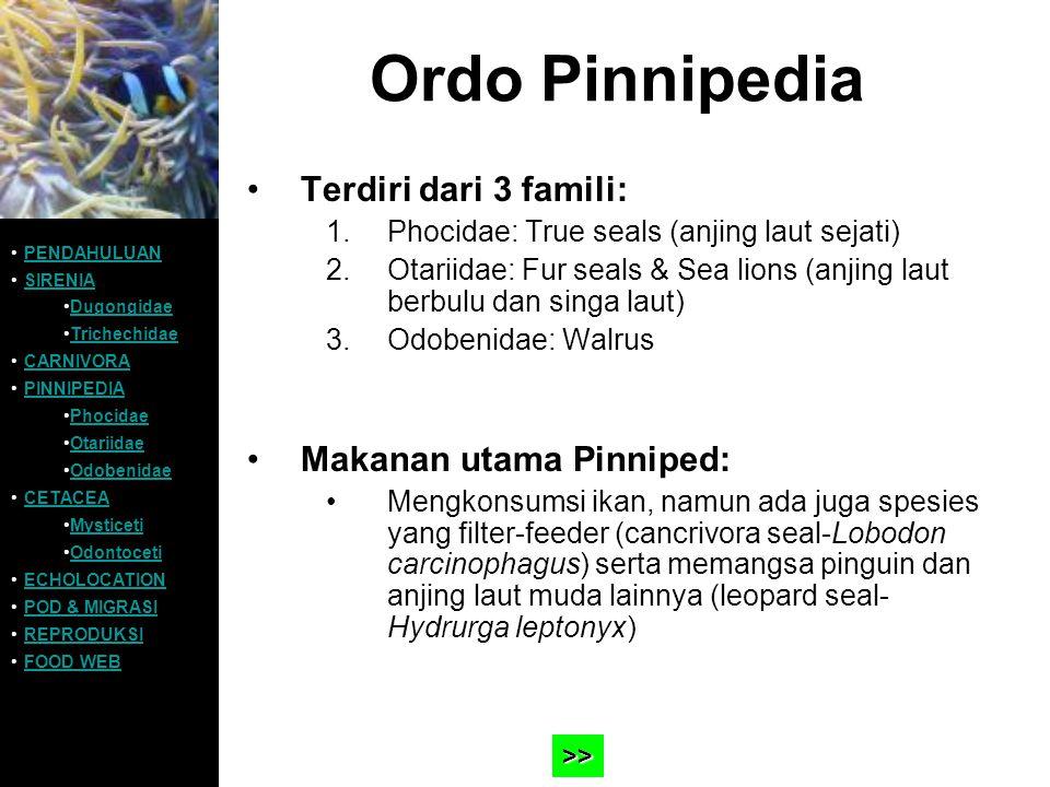 Ordo Pinnipedia Terdiri dari 3 famili: 1.Phocidae: True seals (anjing laut sejati) 2.Otariidae: Fur seals & Sea lions (anjing laut berbulu dan singa l