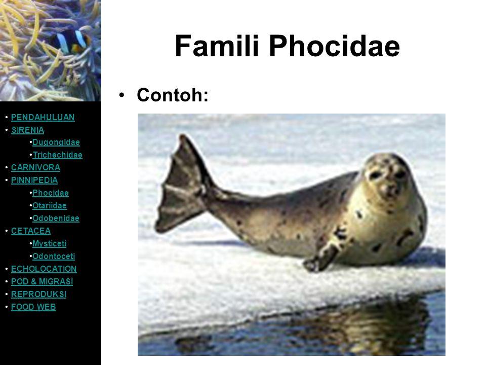 Famili Phocidae Contoh: PENDAHULUAN SIRENIA Dugongidae Trichechidae CARNIVORA PINNIPEDIA Phocidae Otariidae Odobenidae CETACEA Mysticeti Odontoceti EC