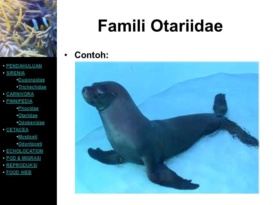 Famili Otariidae Contoh: PENDAHULUAN SIRENIA Dugongidae Trichechidae CARNIVORA PINNIPEDIA Phocidae Otariidae Odobenidae CETACEA Mysticeti Odontoceti E