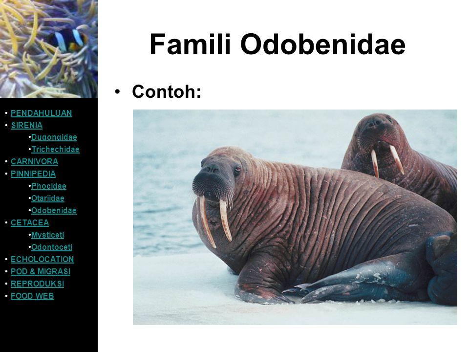 Famili Odobenidae Contoh: PENDAHULUAN SIRENIA Dugongidae Trichechidae CARNIVORA PINNIPEDIA Phocidae Otariidae Odobenidae CETACEA Mysticeti Odontoceti