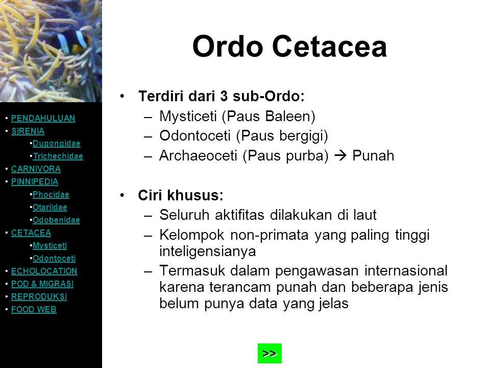 Ordo Cetacea Terdiri dari 3 sub-Ordo: –Mysticeti (Paus Baleen) –Odontoceti (Paus bergigi) –Archaeoceti (Paus purba)  Punah Ciri khusus: –Seluruh akti