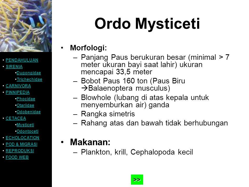 Ordo Mysticeti Morfologi: –Panjang Paus berukuran besar (minimal > 7 meter ukuran bayi saat lahir) ukuran mencapai 33,5 meter –Bobot Paus 160 ton (Pau
