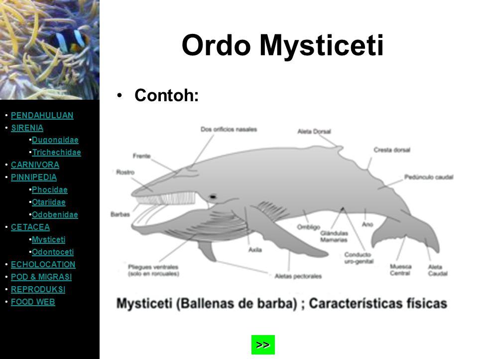 Ordo Mysticeti Contoh: PENDAHULUAN SIRENIA Dugongidae Trichechidae CARNIVORA PINNIPEDIA Phocidae Otariidae Odobenidae CETACEA Mysticeti Odontoceti ECH