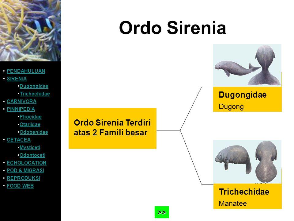 Ordo Sirenia Ordo Sirenia Terdiri atas 2 Famili besar PENDAHULUAN SIRENIA Dugongidae Trichechidae CARNIVORA PINNIPEDIA Phocidae Otariidae Odobenidae C