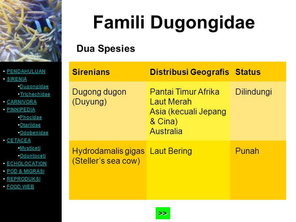 Famili Dugongidae Habitat:wilayah pesisir yang dangkal (truly marine) Ukuran dan bobot tubuh: »Dugong:bisa mencapai 3,5 meter dengan bobot 400kg »Steller's:> 8 meter; > 5.000 kg Kemampuan renang: Setelah mengambil udara di permukaan air Dugong mampu menyelam selama 1-2 menit hingga kedalaman <20 meter PENDAHULUAN SIRENIA Dugongidae Trichechidae CARNIVORA PINNIPEDIA Phocidae Otariidae Odobenidae CETACEA Mysticeti Odontoceti ECHOLOCATION POD & MIGRASI REPRODUKSI FOOD WEB Contoh >> Contoh >>