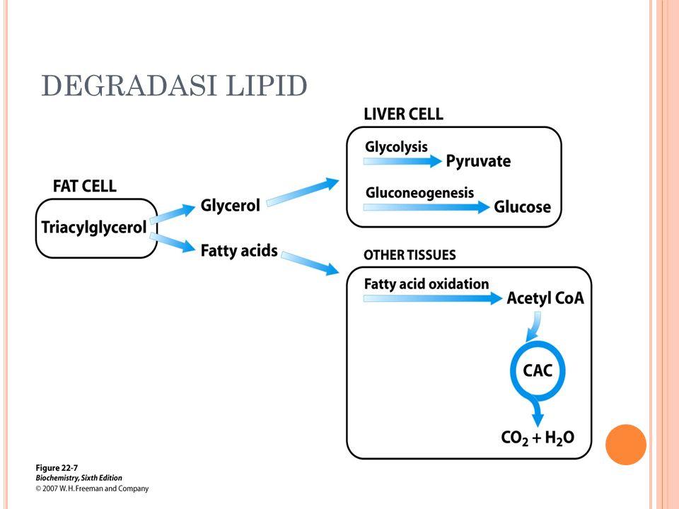 O KSIDASI ASAM LEMAK TAK JENUH Sebagian besar asam lemak tak jenuh berada dalam konfigurasi cis.