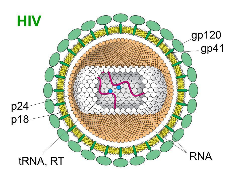 Infeksi HIV Sel inang: sel T penolong gp120 HIV mengikat CD4 pada permukaan sel T penolong Interaksi memungkinkan gp41 memasukkan kepala ujung-N ke dalam membran sel inang Kedua membran berfusi, dan inti virus dilepas ke sitosol Penambahan glikoprotein virus dan pembentukan partikel virus menyebabkan peningkatan penyerapan ion-ion dan air Terjadi gangguan kesetimbangan ion → lisis osmotik (sel T pecah)