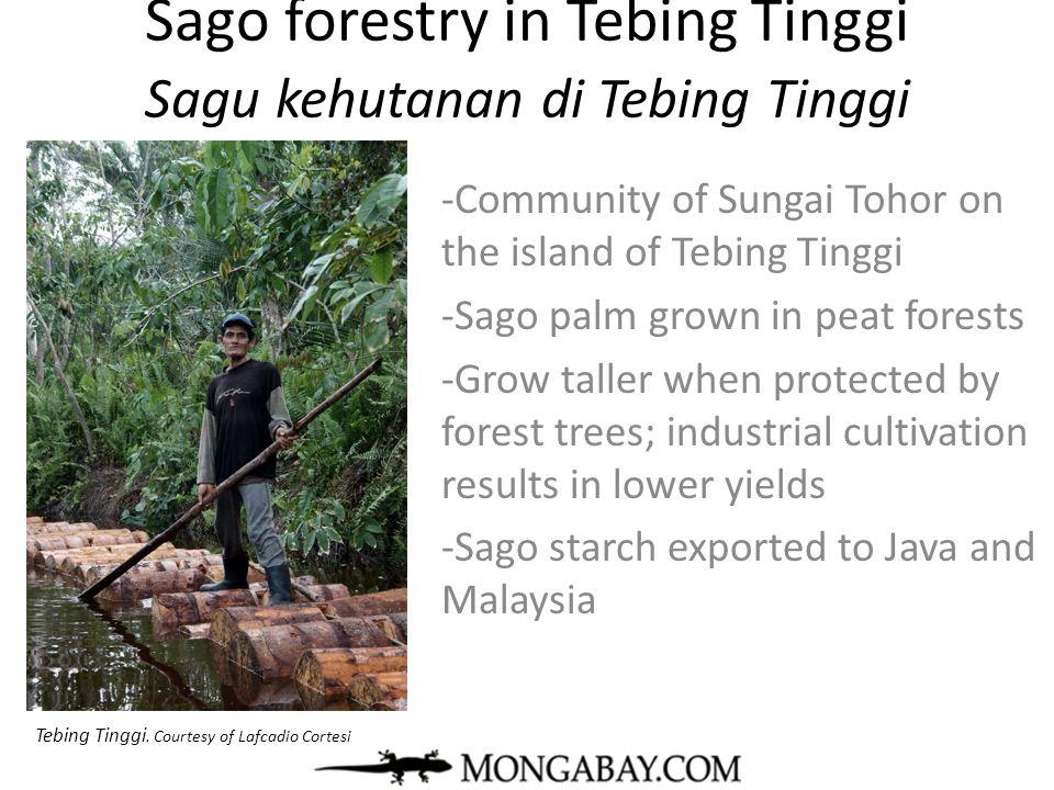 Sago forestry in Tebing Tinggi Sagu kehutanan di Tebing Tinggi -Community of Sungai Tohor on the island of Tebing Tinggi -Sago palm grown in peat fore