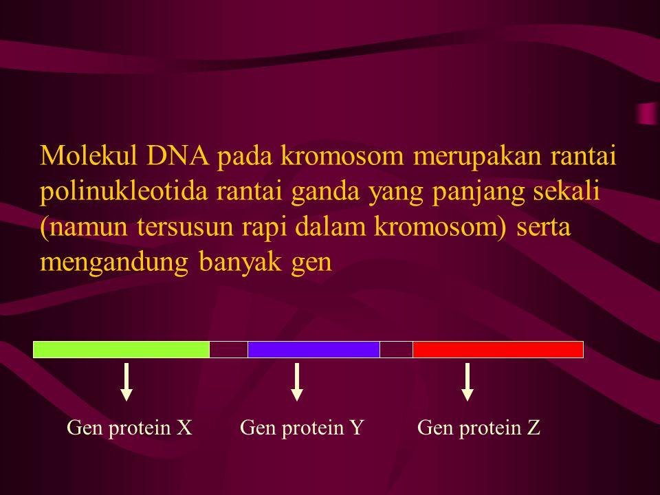 Molekul DNA pada kromosom merupakan rantai polinukleotida rantai ganda yang panjang sekali (namun tersusun rapi dalam kromosom) serta mengandung banya