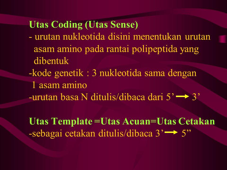 Utas Coding (Utas Sense) - urutan nukleotida disini menentukan urutan asam amino pada rantai polipeptida yang dibentuk -kode genetik : 3 nukleotida sa