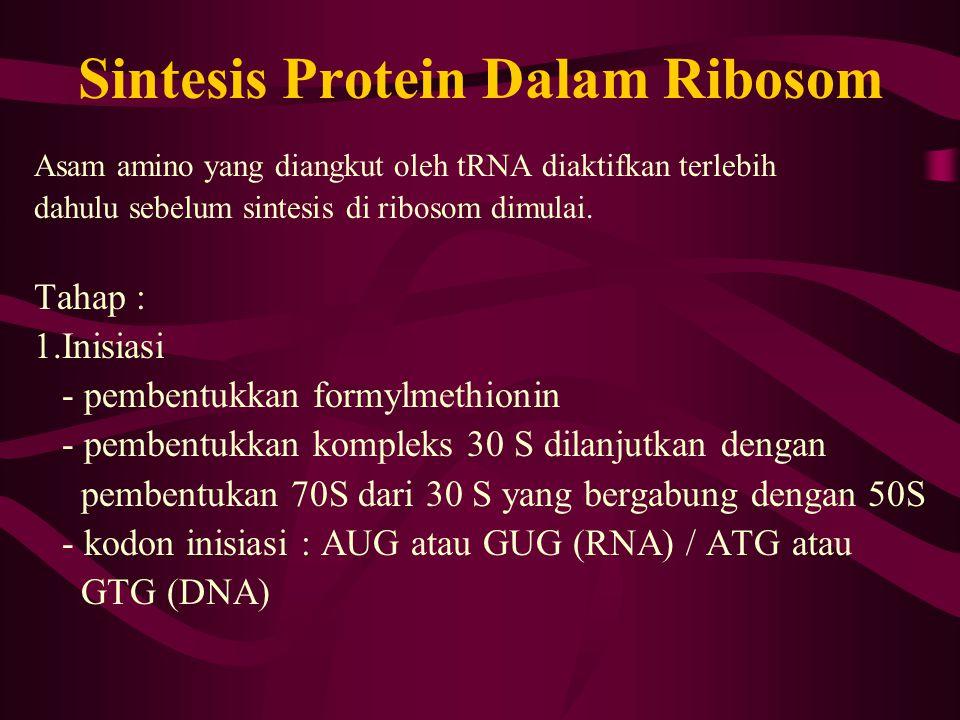 Sintesis Protein Dalam Ribosom Asam amino yang diangkut oleh tRNA diaktifkan terlebih dahulu sebelum sintesis di ribosom dimulai. Tahap : 1.Inisiasi -