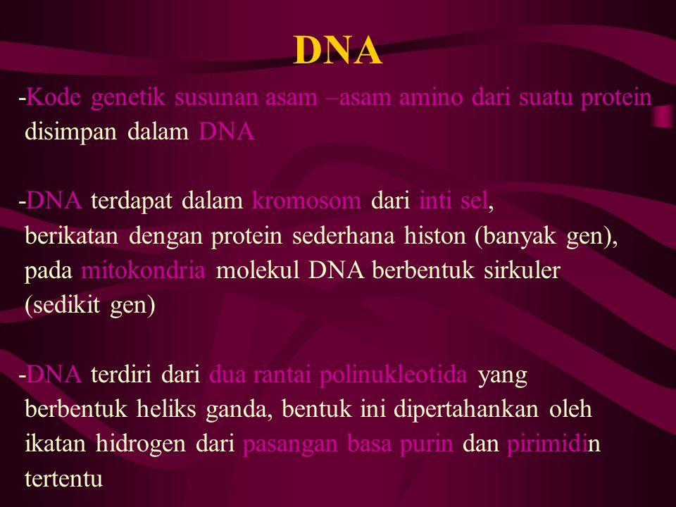 DNA -Kode genetik susunan asam –asam amino dari suatu protein disimpan dalam DNA -DNA terdapat dalam kromosom dari inti sel, berikatan dengan protein