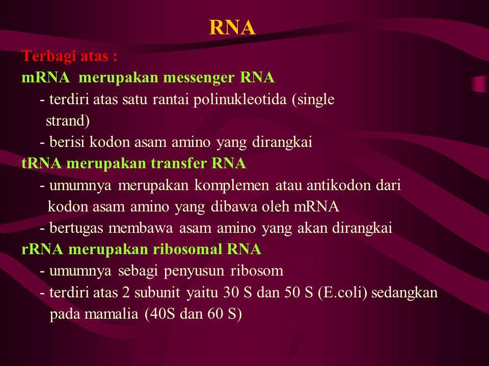 RNA Terbagi atas : mRNA merupakan messenger RNA - terdiri atas satu rantai polinukleotida (single strand) - berisi kodon asam amino yang dirangkai tRN