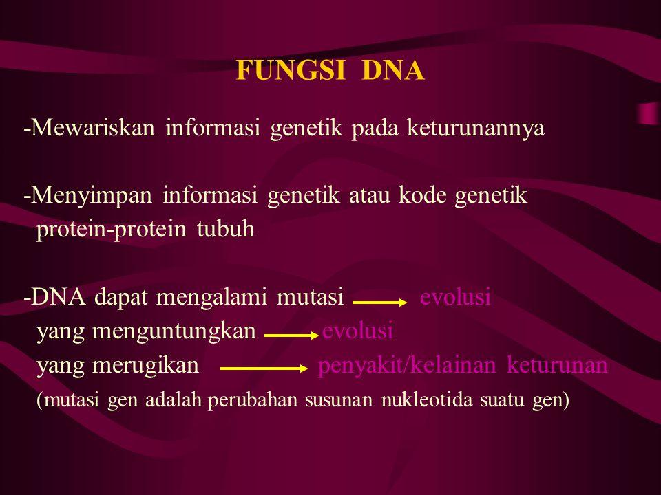 FUNGSI DNA -Mewariskan informasi genetik pada keturunannya -Menyimpan informasi genetik atau kode genetik protein-protein tubuh -DNA dapat mengalami m