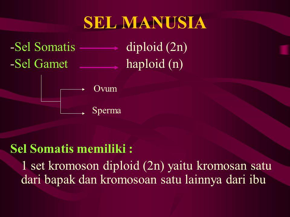 SEL MANUSIA -Sel Somatisdiploid (2n) -Sel Gamethaploid (n) Sel Somatis memiliki : 1 set kromoson diploid (2n) yaitu kromosan satu dari bapak dan kromo