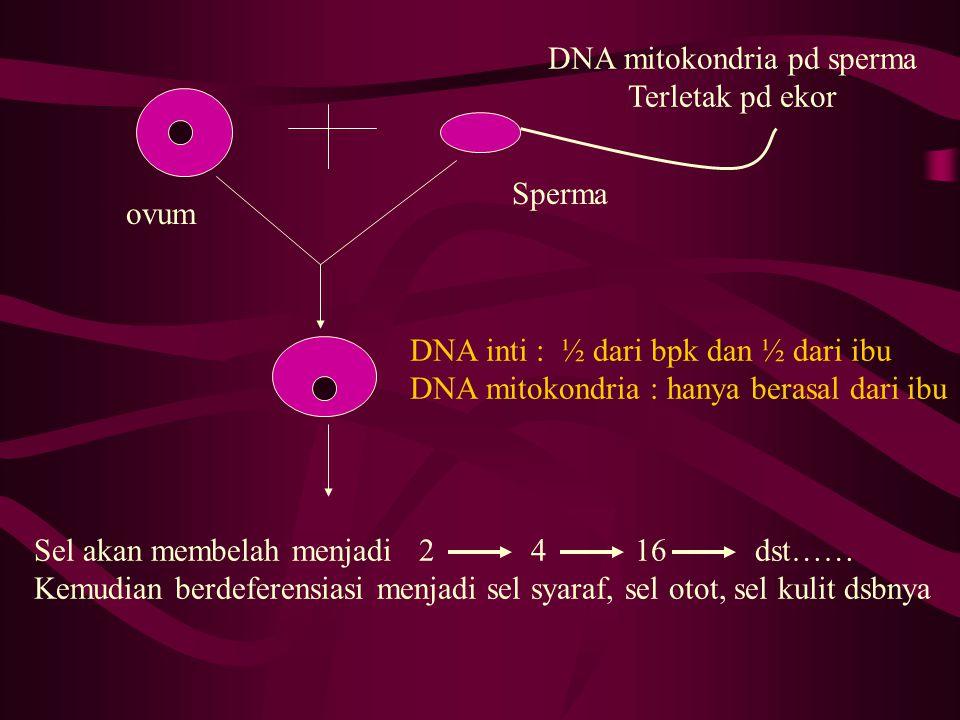 DNA inti : ½ dari bpk dan ½ dari ibu DNA mitokondria : hanya berasal dari ibu DNA mitokondria pd sperma Terletak pd ekor ovum Sperma Sel akan membelah