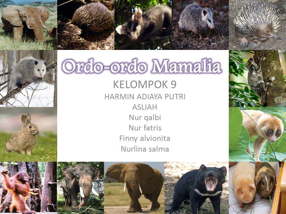 Hyrax (dari bahasa yunani ὕραξ shrewmouse ) adalah sebagian spesie dari empat spesies yang cukup kecil, gemuk, dan merupakan mamalia herbivora di ordo Hyracoidea.