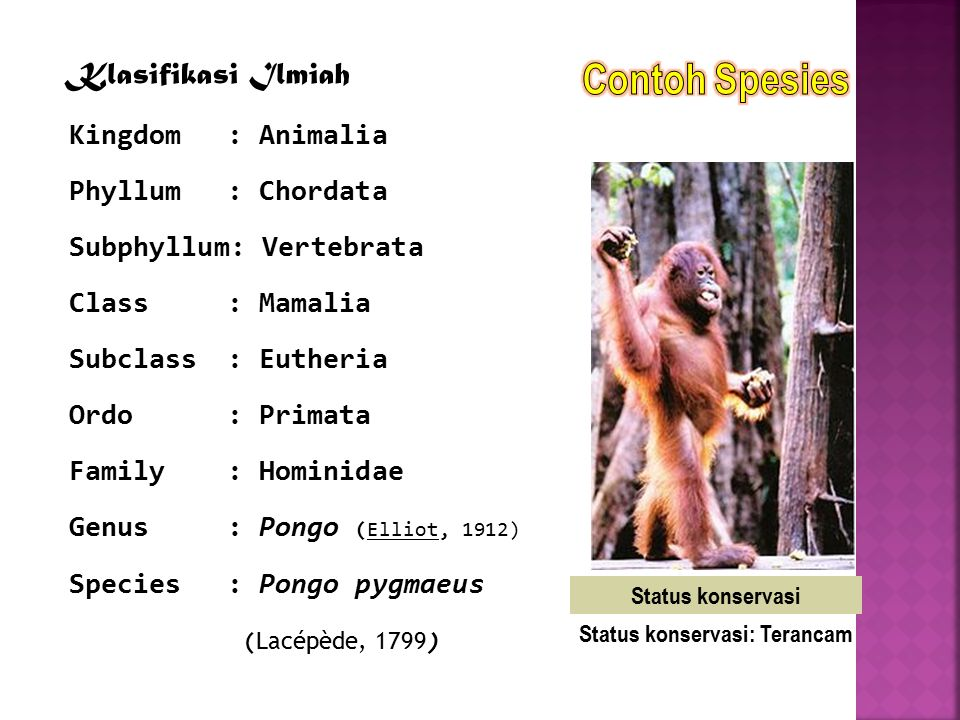Klasifikasi Ilmiah Kingdom: Animalia Phyllum: Chordata Subphyllum: Vertebrata Class: Mamalia Subclass: Eutheria Ordo: Primata Family: Hominidae Genus: