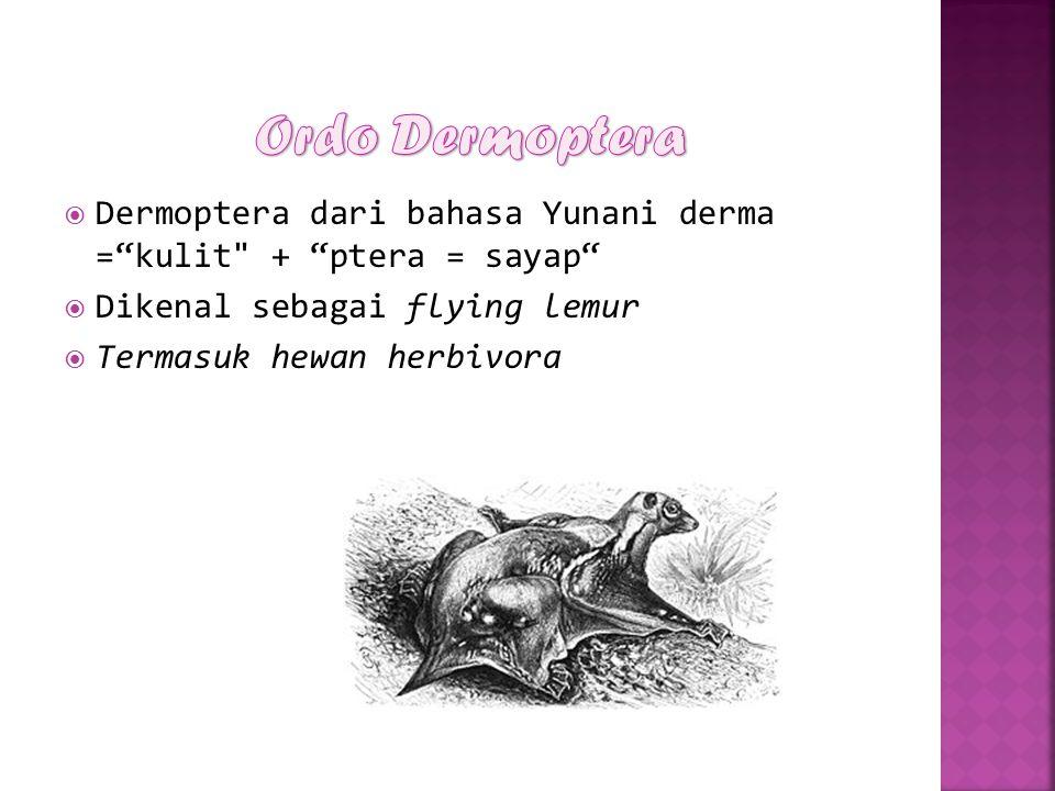 " Dermoptera dari bahasa Yunani derma =""kulit"