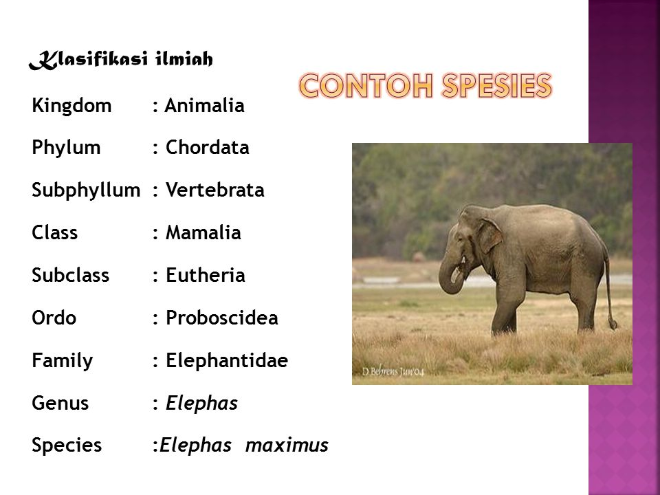 Klasifikasi ilmiah Kingdom: Animalia Phylum: Chordata Subphyllum: Vertebrata Class: Mamalia Subclass: Eutheria Ordo: Proboscidea Family: Elephantidae