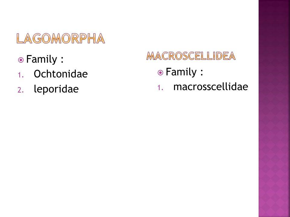  Family : 1. Ochtonidae 2. leporidae  Family : 1. macrosscellidae