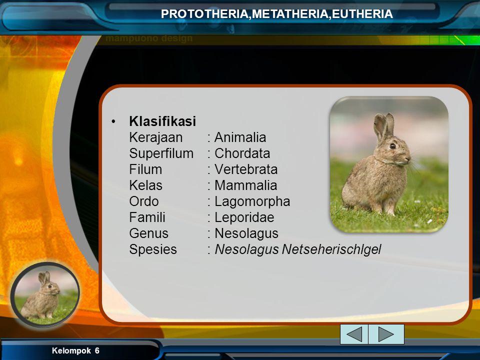 Kelompok 6 PROTOTHERIA,METATHERIA,EUTHERIA Ordo Lagomorpha (Mammalia bergigi seri pahat, kaki belakang lebih panjang dari kaki depan) contoh: kelinci
