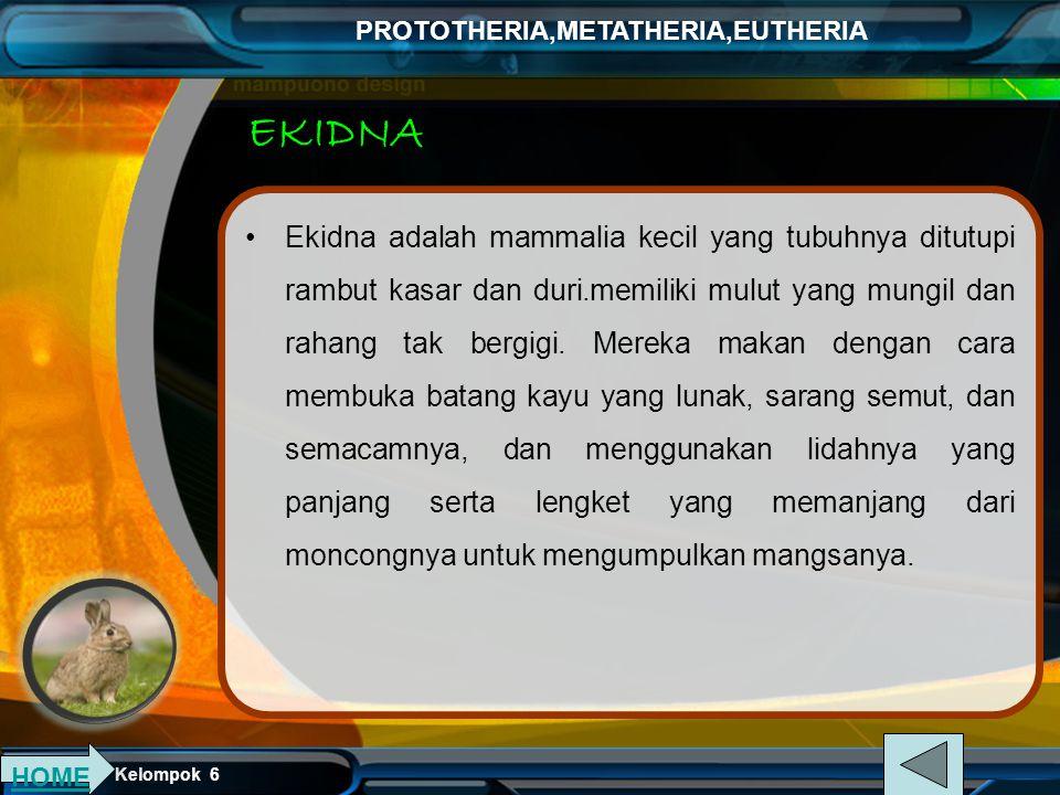 Kelompok 6 PROTOTHERIA,METATHERIA,EUTHERIA EKIDNA Ekidna adalah mammalia kecil yang tubuhnya ditutupi rambut kasar dan duri.memiliki mulut yang mungil dan rahang tak bergigi.