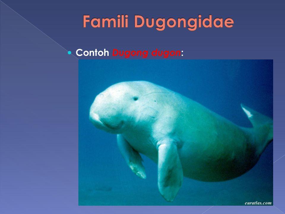 Contoh Dugong dugon :