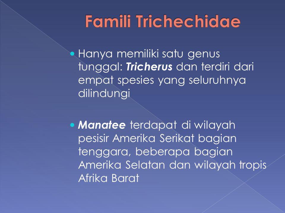 Hanya memiliki satu genus tunggal: Tricherus dan terdiri dari empat spesies yang seluruhnya dilindungi Manatee terdapat di wilayah pesisir Amerika Ser