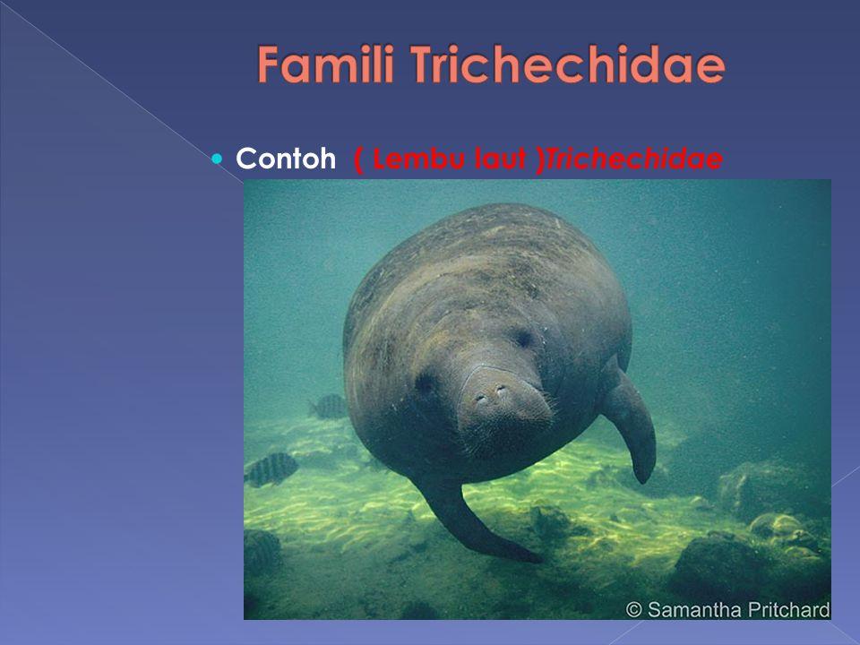 Contoh ( Lembu laut ) Trichechidae
